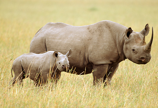 AFW 05 RW0001 01 © Kimball Stock Mother Black Rhinoceros Standing With Calf On Savanna Kenya