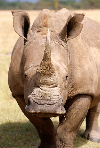 AFW 05 TL0001 01 © Kimball Stock Portrait Head Shot Of White Rhinoceros Standing On Dry Grass Africa
