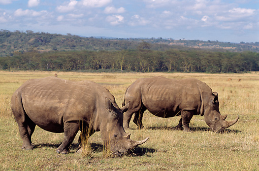 AFW 05 TL0002 01 © Kimball Stock Profile Of Two White Rhinos Grazing On Dry Grass By Trees Hills Sky Clouds Africa