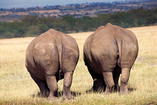 AFW 05 TL0003 01 © Kimball Stock Rear View Of Two White Rhinos Grazing On Dry Grass By Trees Hills Africa