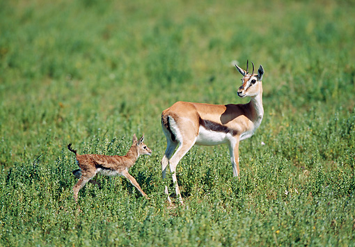 AFW 06 GL0002 01 © Kimball Stock Thomson's Gazelle Mother With Young Walking In Grassland