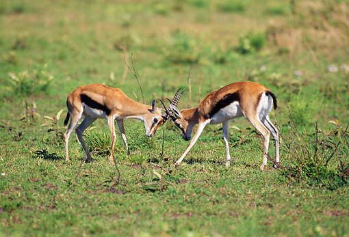 AFW 06 GL0003 01 © Kimball Stock Two Thomson's Gazelles Fighting On Grassland