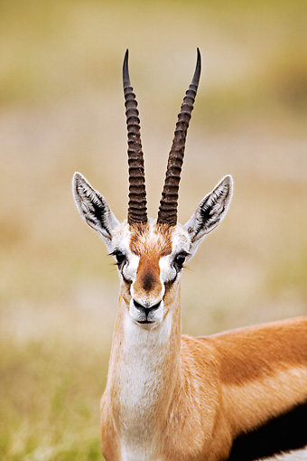 AFW 06 MH0001 01 © Kimball Stock Head Shot Of Thomson's Gazelle Standing On Savanna Kenya