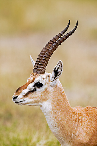 AFW 06 MH0002 01 © Kimball Stock Head Shot Of Thomson's Gazelle On Savanna Kenya