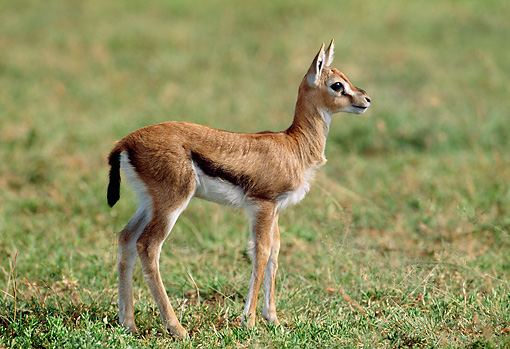 AFW 06 MH0004 01 © Kimball Stock Young Thomson's Gazelle Standing In Grassland Profile