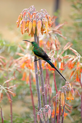 AFW 07 AC0005 01 © Kimball Stock Malachite Sunbird Male Perching On Flower, South Africa