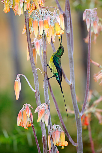 AFW 07 AC0006 01 © Kimball Stock Malachite Sunbird Male Eating From Flower, South Africa