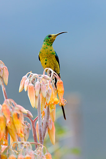 AFW 07 AC0007 01 © Kimball Stock Malachite Sunbird Male Perching On Flower, South Africa