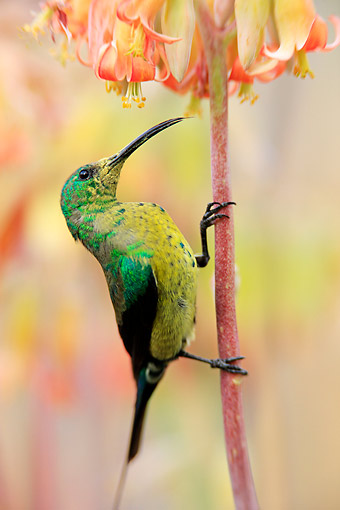 AFW 07 AC0008 01 © Kimball Stock Malachite Sunbird Male Perching On Flower, South Africa