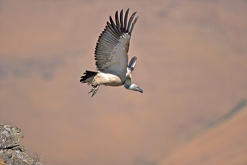 AFW 07 HP0004 01 © Kimball Stock White-Backed Vulture Flying Through KwaZulu-Natal, South Africa