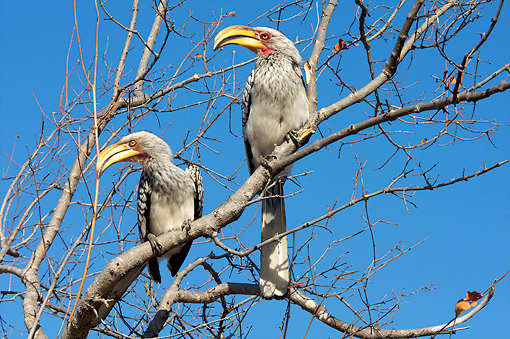 AFW 07 HP0005 01 © Kimball Stock Two Southern Yellow-Billed Hornbills Perched In Tree Kruger National Park, South Africa