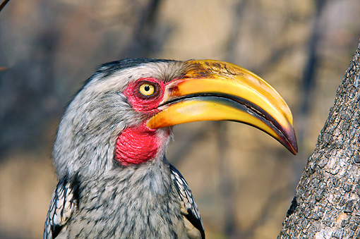 AFW 07 HP0006 01 © Kimball Stock Head Shot Of Southern Yellow-Billed Hornbill Kruger National Park, South Africa
