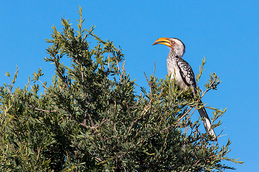 AFW 07 KH0001 01 © Kimball Stock Southern Yellow-Billed Hornbill Perched On Tree In Kalahari Desert, South Africa