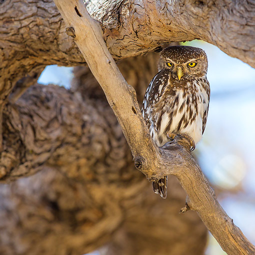 AFW 07 KH0008 01 © Kimball Stock Pearl-Spotted Owlet Standing On Branch In Botswana