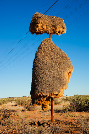 AFW 07 MH0001 01 © Kimball Stock Sociable Weaver Community Nest On Telephone Pole In Namibia