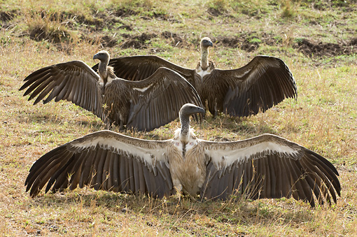 AFW 07 NE0001 01 © Kimball Stock Three African White-Backed Vultures Sitting On Savanna Spreading Wings Kenya