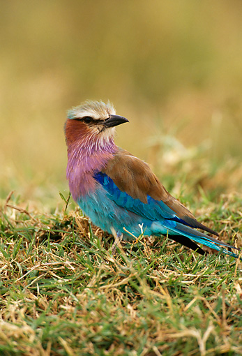 AFW 07 TL0001 01 © Kimball Stock Portrait Of Lilac-Breasted Roller Kenya