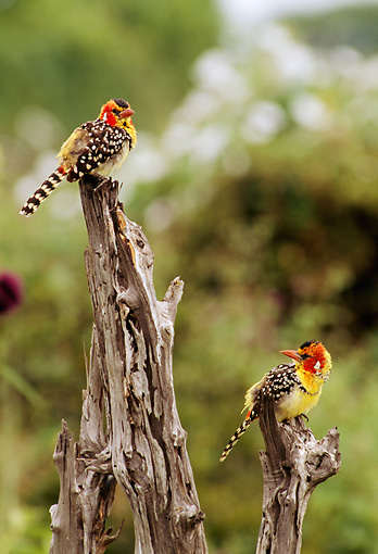 AFW 07 TL0002 01 © Kimball Stock Two Red-And-Yellow Barbets Perching On Tree Stumps