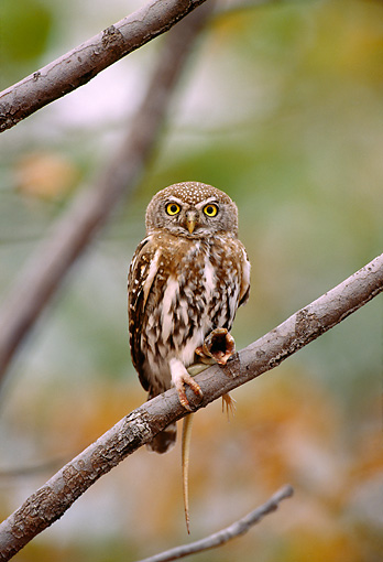 AFW 07 TL0003 01 © Kimball Stock Pearl-spotted Owlet Feeding On Lizard Zimbabwe