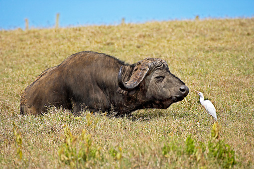AFW 08 GL0001 01 © Kimball Stock African Buffalo Laying In Savanna By Cattle Egret Kenya