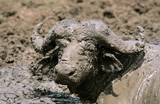AFW 08 GL0002 01 © Kimball Stock Close-Up Of African Buffalo Having Mud Bath In Serengeti Park, Tanzania