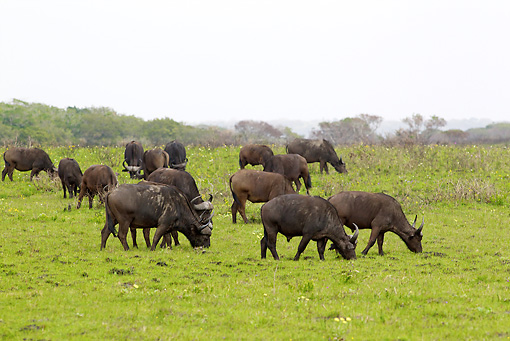 AFW 08 HP0005 01 © Kimball Stock Herd Of Cape Buffalo Grazing In Meadow Kruger National Park, South Africa