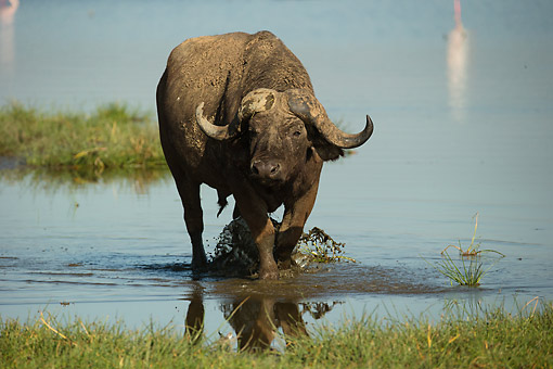 AFW 08 MC0012 01 © Kimball Stock African Buffalo (Or Cape Buffalo) Standing In The Water, Lake Nakuru, Kenya