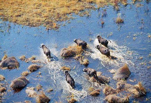 AFW 08 MH0013 01 © Kimball Stock Overhead Shot Of Herd Of African Buffalo Walking Through Stream In Savanna