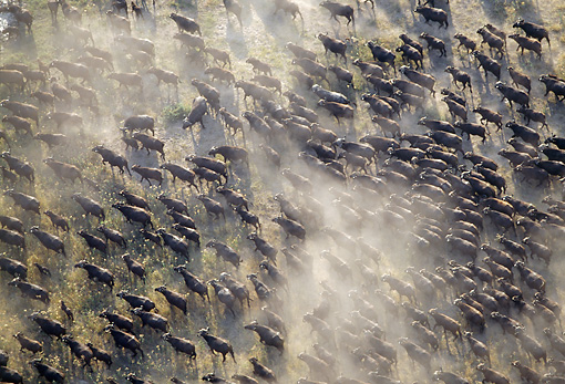 AFW 08 MH0014 01 © Kimball Stock Overhead Shot Of Herd Of African Buffalo Running Through Savanna