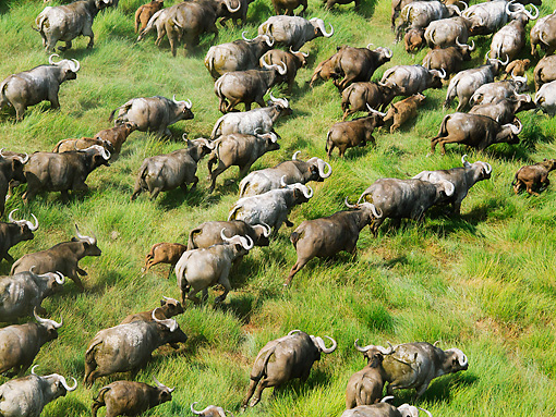 AFW 08 MH0022 01 © Kimball Stock Aerial View Of Cape Buffalo Running Through Grassland Kenya