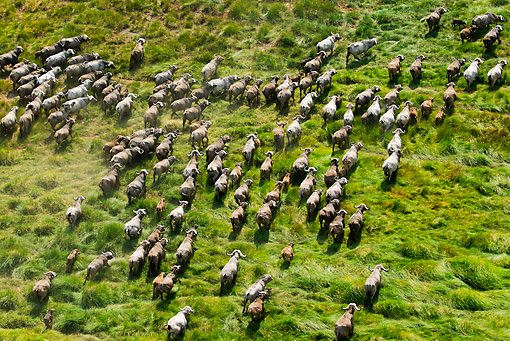AFW 08 MH0023 01 © Kimball Stock Aerial View Of Cape Buffalo Running Through Grassland Kenya