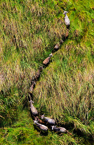 AFW 08 MH0027 01 © Kimball Stock Aerial View Of Cape Buffalo Running Through Grassland Kenya