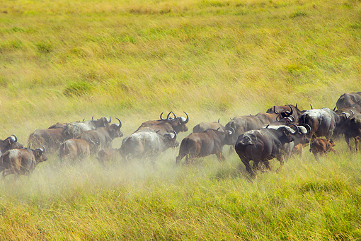 AFW 08 MH0028 01 © Kimball Stock Cape Buffalo Running Through Grassland Kenya