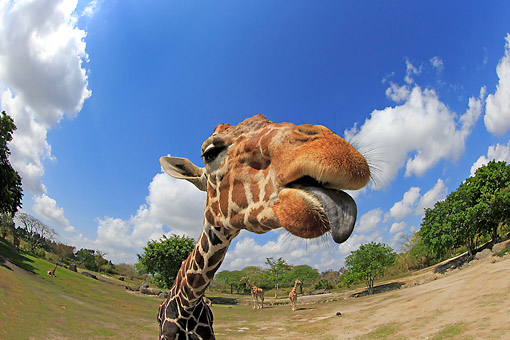 AFW 09 AC0003 01 © Kimball Stock Reticulated Giraffe Portrait, Africa