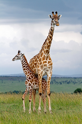 AFW 09 DB0012 01 © Kimball Stock Masai Giraffe Young Standing Under Adult In Savanna