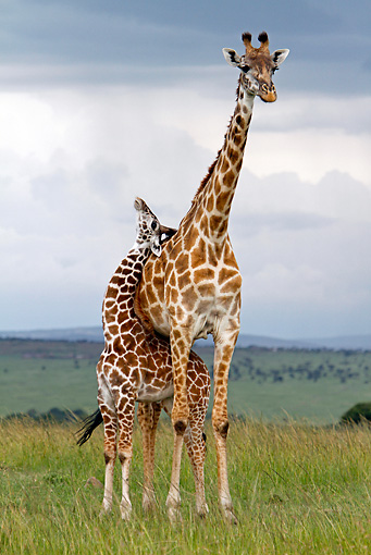 AFW 09 DB0013 01 © Kimball Stock Masai Giraffe Young Standing Under Adult In Savanna