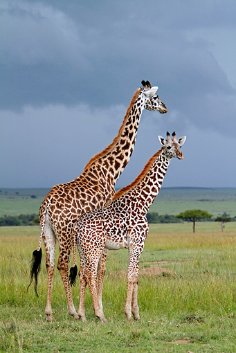 AFW 09 DB0014 01 © Kimball Stock Masai Giraffe Adult And Young Standing In Savanna