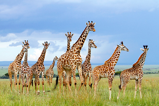 AFW 09 DB0017 01 © Kimball Stock Herd Of Masai Giraffes Standing In Savanna