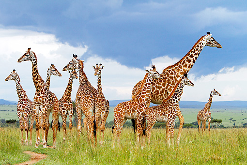 AFW 09 DB0018 01 © Kimball Stock Herd Of Masai Giraffes Standing In Savanna