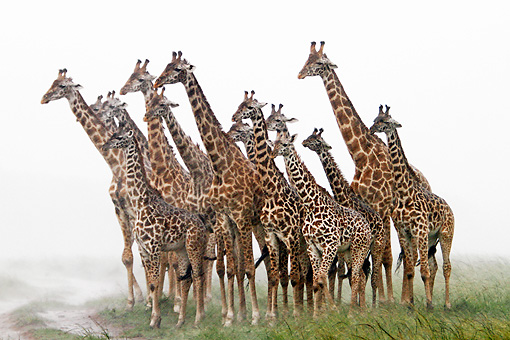 AFW 09 DB0021 01 © Kimball Stock Herd Of Masai Giraffes Standing In Savanna