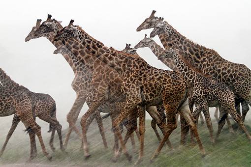 AFW 09 DB0022 01 © Kimball Stock Close-Up Of Herd Of Masai Giraffes Running Through Savanna