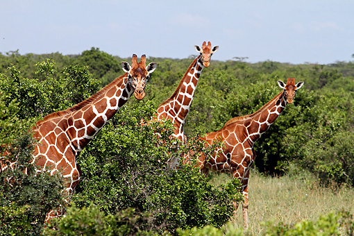 AFW 09 DB0023 01 © Kimball Stock Reticulated Giraffes Standing In Savanna