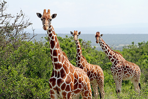 AFW 09 DB0025 01 © Kimball Stock Close-Up Of Reticulated Giraffes Standing In Savanna