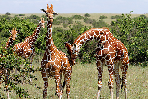 AFW 09 DB0026 01 © Kimball Stock Close-Up Of Reticulated Giraffes Standing In Savanna