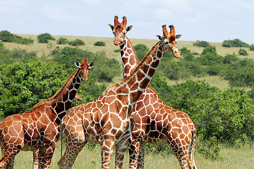 AFW 09 DB0027 01 © Kimball Stock Close-Up Of Reticulated Giraffes Standing In Savanna