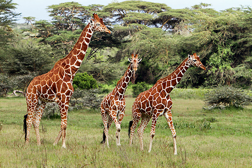 AFW 09 DB0028 01 © Kimball Stock Close-Up Of Reticulated Giraffes Walking In Savanna