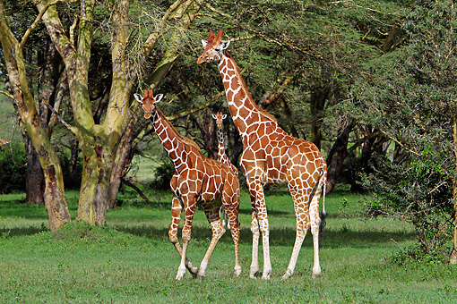 AFW 09 DB0029 01 © Kimball Stock Reticulated Giraffes Standing In Savanna