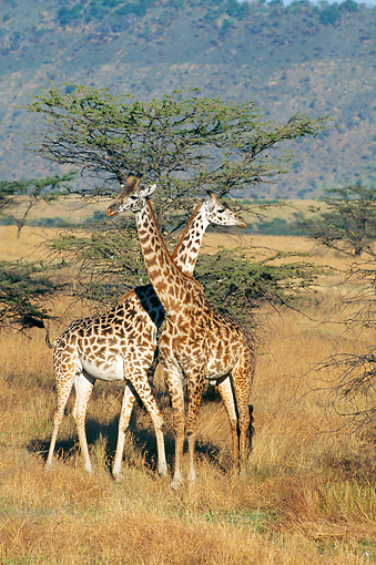 AFW 09 GL0004 01 © Kimball Stock Two Masai Giraffes Standing With Necks Crossed In Savanna Kenya