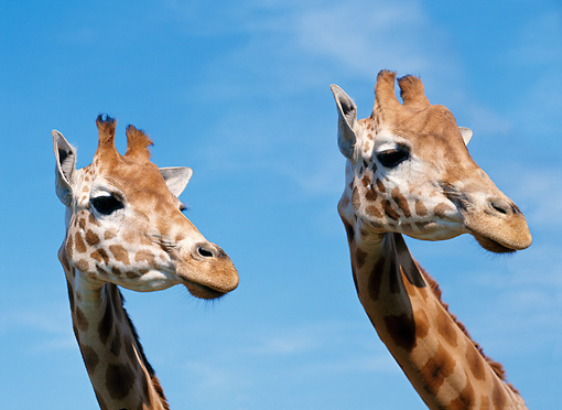 AFW 09 GL0005 01 © Kimball Stock Head Shot Of Two Masai Giraffes Standing Against Blue Sky
