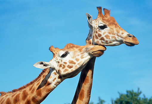 AFW 09 GL0006 01 © Kimball Stock Head Shot Of Two Rothschild Giraffes Nuzzling Against Blue Sky